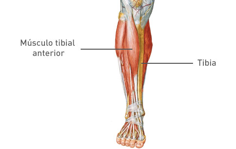 Periostitis Tibial Causas Prevención Y Tratamiento Blog Ergodinámica